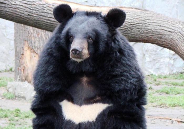 magas vérnyomás és medve epe