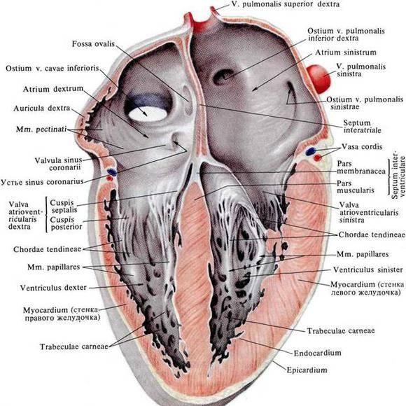 A szív bal kamrai hipertrófia: okok, tünetek, kezelés