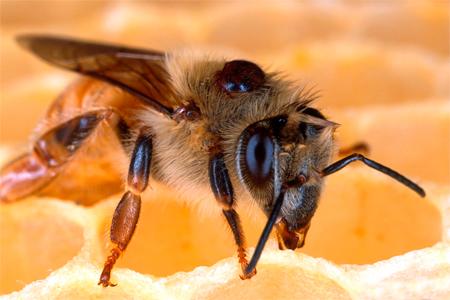 a mezei méh magas vérnyomás esetén történő alkalmazása