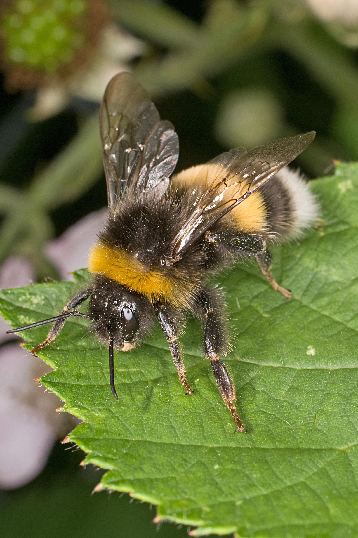 mezei méh magas vérnyomás esetén
