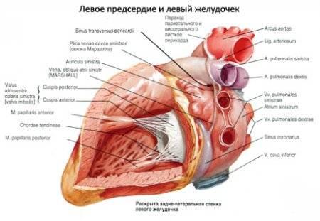 hipertrófia szív hipertónia lehetséges-e hipertóniával járó randevúk esetén