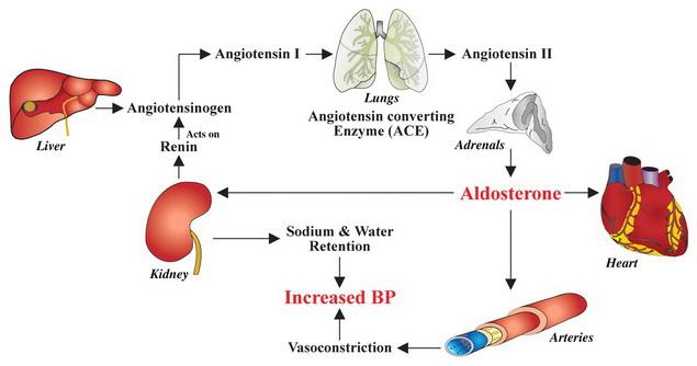 magas vérnyomás mechanizmusok
